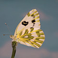 Becker's White Butterfly by Buddy Mays