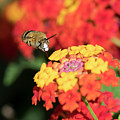 Bee, Bumblebee, Flying To A Flower, In Marseille, France by Sylvie CUCCHI