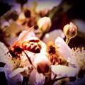 Bee On Apple Blossoms by Debra Lynch