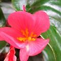 Begonia by Miss McLean