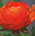 Begonia In The Morning by Lawrence Golla