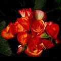 Begonias by John Ater