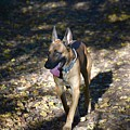 Belgian Malinois by Photos By Zulma