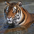 Bengal Tiger Laying In Water by Bruce Beck