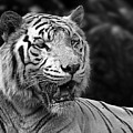 Big Cats 4 by Ben Yassa