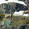 Big Horn Sheep - Glaicer by Cindy Murphy - NightVisions