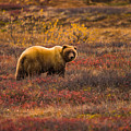 Big Hungry Grizzly by Jeff Folger