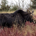 Big Mama Moose by William Tasker