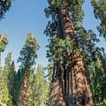 Big Tree Trail - Sequoia National Park - California by Ryan Kelehar