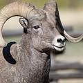 Bighorn Ram by Connie Troutman