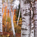 Birch Trees Fall Scenery by Oleksiy Maksymenko