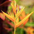 Bird Of Paradise Plant In The Garden. by Rob D