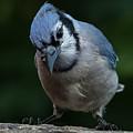 Birds From Heaven - Bluejay by Mohsin Jessa