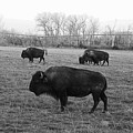 Bison In Black And White by Yumi Johnson