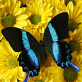 Black And Blue Butterfly by Garry Gay