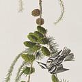 Black And White Creeper by John James Audubon