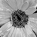 Black And White Gerbera Daisy by Amy Fose