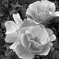 Black And White Roses 2 by Amy Fose