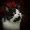 Black And White Tuxedo Cat by TouTouke A Y