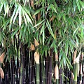 Black Bamboo by Mary Deal