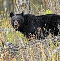 Black Bear by Bill Dodsworth