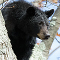 Black Bear by Dennis DiMauro Jr