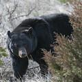 Black Bear by Gary Beeler