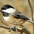 Black-capped Chickadee by Frank Townsley