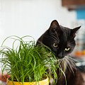 Black Cat Eating Cat Grass by Lukasz Szczepanski