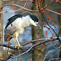 Black-crowned Night Heron by Neil Doren