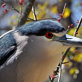 Black-crowned Night Heron  by Savannah Gibbs