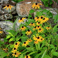 Black Eyed Susan by Doug Mills