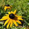 Black Eyed Susans by Penny Neimiller