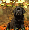 Black Labrador Retriever Puppy by Waldek Dabrowski