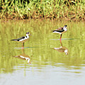 Black Necked Stilt, In The Pond In The Galapagos by Marek Poplawski