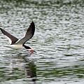 Black Skimmer Fishing by Sam Rino