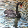 Black Swan On Water by Leonie Bell
