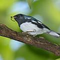 Black-throated Blue Warbler by Alan Lenk