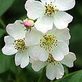 Blackberry Blossoms by Frank Townsley