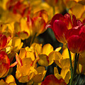 Blazing Tulips by Michele Burgess
