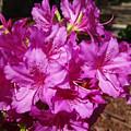 Blooming Azaleas by Greg Boutz