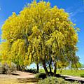 Blooming Palo Verde by Barbara Zahno