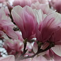 Blooming Pink Magnolias by Dora Sofia Caputo Photographic Design and Fine Art