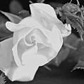 Blooming Rose by Margie Wildblood