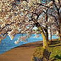 Blossoming Cherry Trees by Brian Jannsen