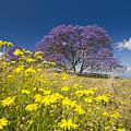 Blossoming Jacaranda by Dave Fleetham - Printscapes