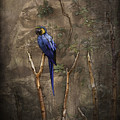 Blue And Yellow Macaw by Ray Van Gundy
