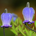 Blue Bells by Patrick  Short