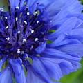 Blue Cornflower by Chandra Nyleen