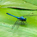 Blue Dragonfly On Lily Pad by Stephen Whalen